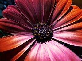 .:.Red or Orange.:. by Ailedda