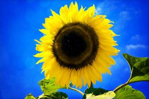 .:.Sunflower.:. by Ailedda