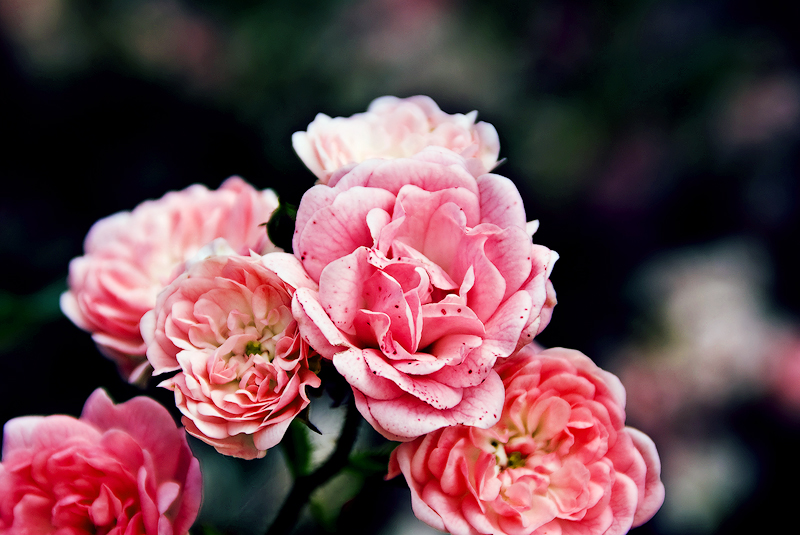Roses by Ailedda