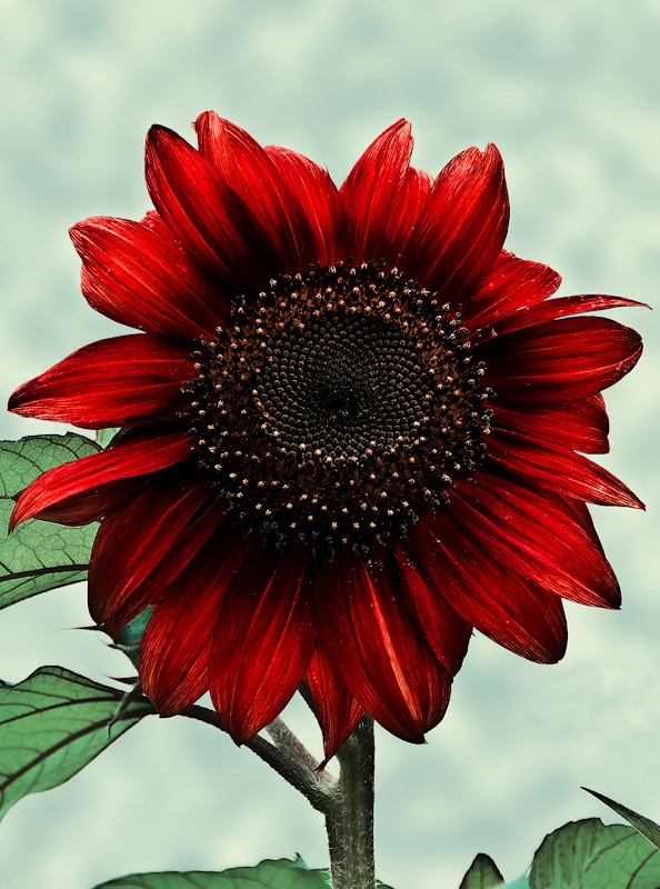 .:.Red Sunflower.:. by Ailedda
