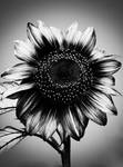 .:.One More Sunflower.:.