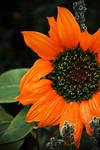 .:.Last Sunflower.:.