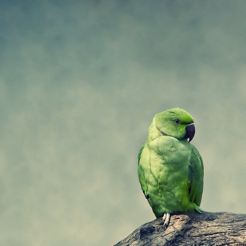 .:.Emo, the parrot.:. by Ailedda