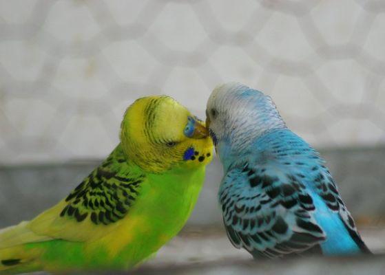 love birds by ibrashfan