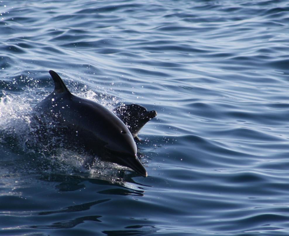 Dolphins by danielanacif