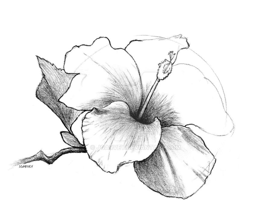 Drawing Hibiscus Flower By Jgarvey On Deviantart