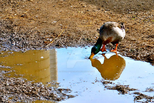 Duck Takes a Drink