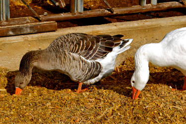 Gray Goose and White Goose