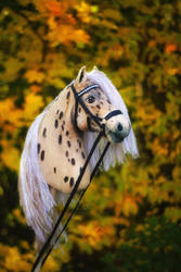 Appaloosa Hobbyhorse