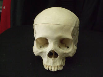Human Skull 09 by qxvw198