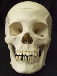 Human Skull 01 by qxvw198