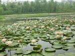 lotus  flowers 3