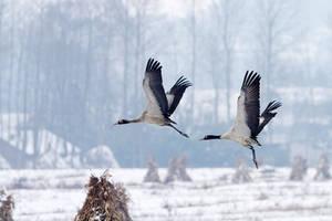 cranes Animals Stock Birds by Sophie-Y