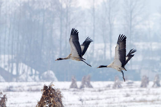 cranes Animals Stock Birds