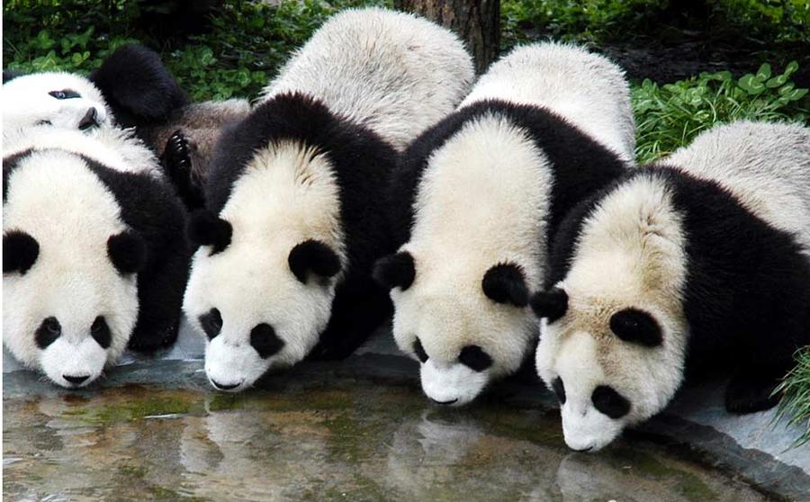 panda   10 by Sophie-Y