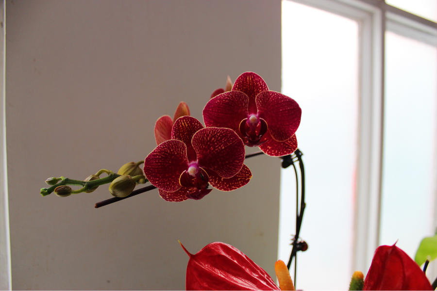 moth orchid by Sophie-Y