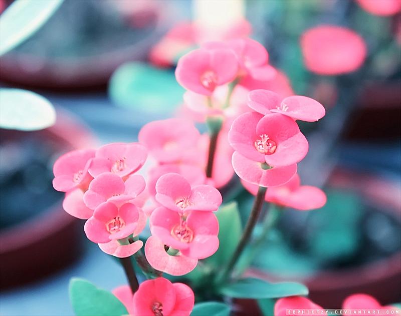 pink floret by Sophie-Y