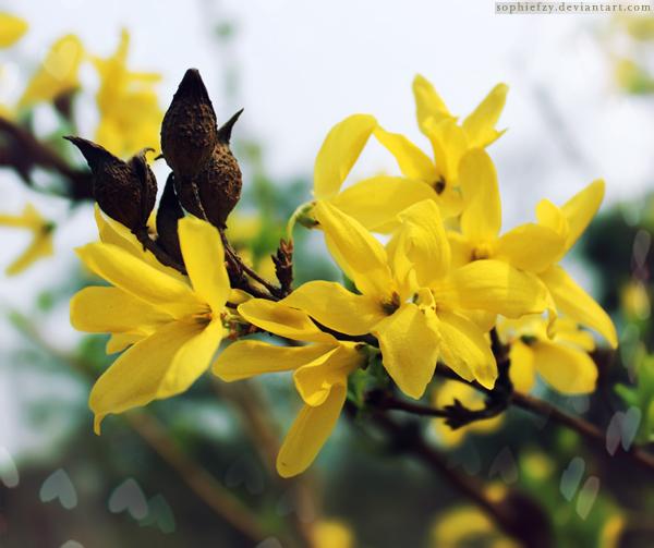 Jasminum nudiflorum by Sophie-Y