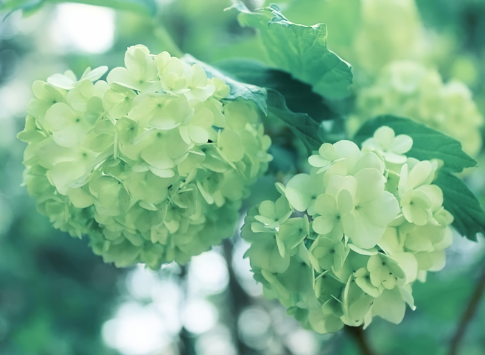 hydrangea by Sophie-Y