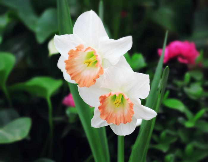 daffodil by Sophie-Y