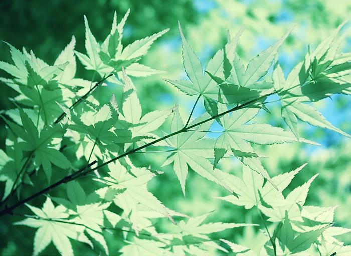 maple leaf by Sophie-Y
