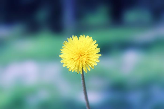dandelion by Sophie-Y