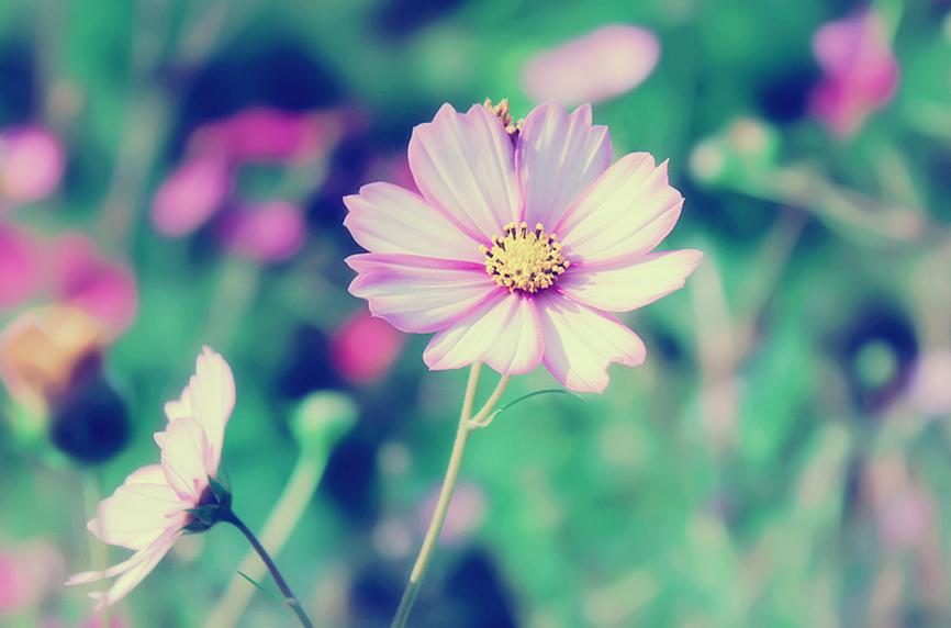 Garden cosmos by Sophie-Y