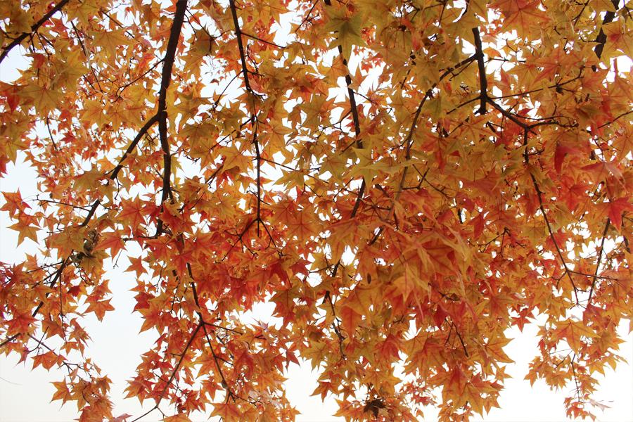 Maple leaves 2 by Sophie-Y