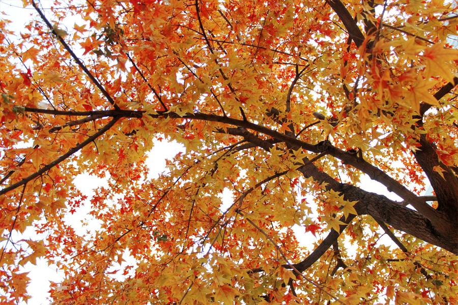 Maple leaves 3 by Sophie-Y