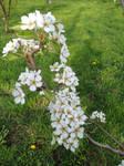 Pear Tree in Bloom, #2