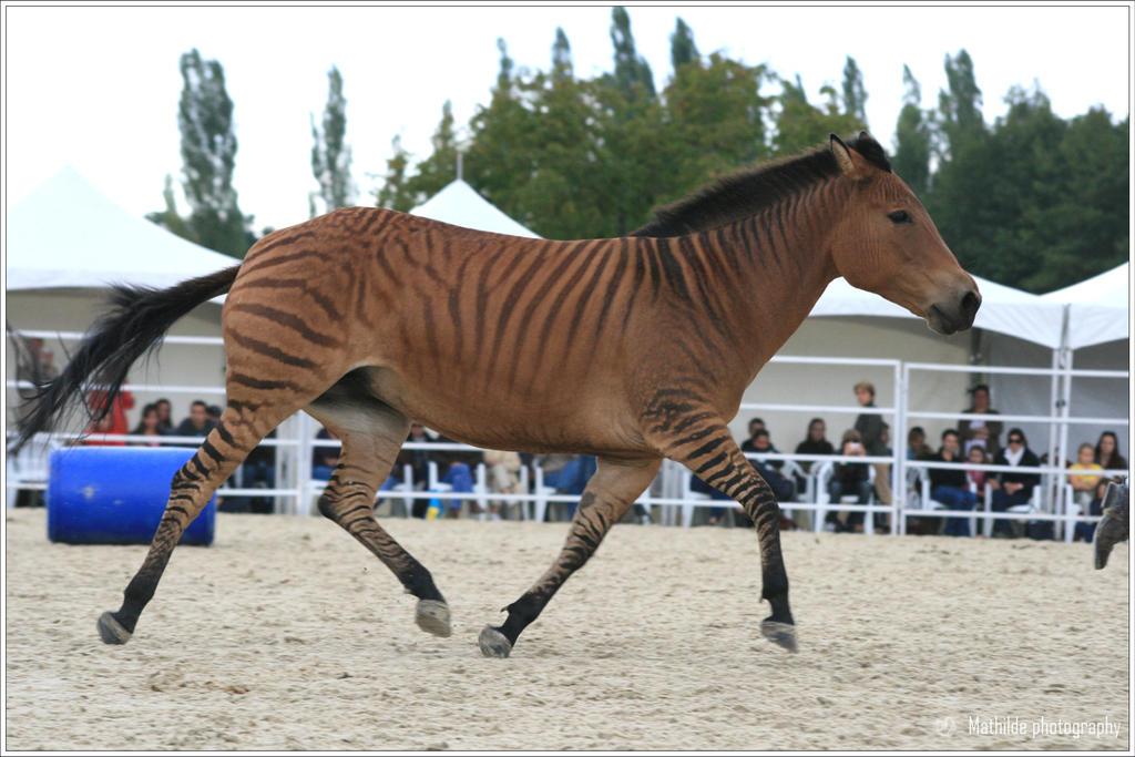 Can I Have A Pony Z Zebras Zorse And Zedonks