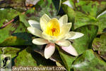 Water Lilies by SkyDarko