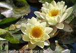 Water Lilies 2 by SkyDarko