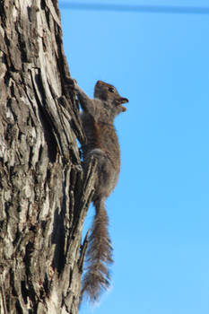 NATURE Dahlonega Squirell