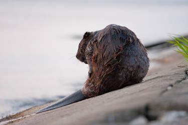 Beaver by BzykXXL