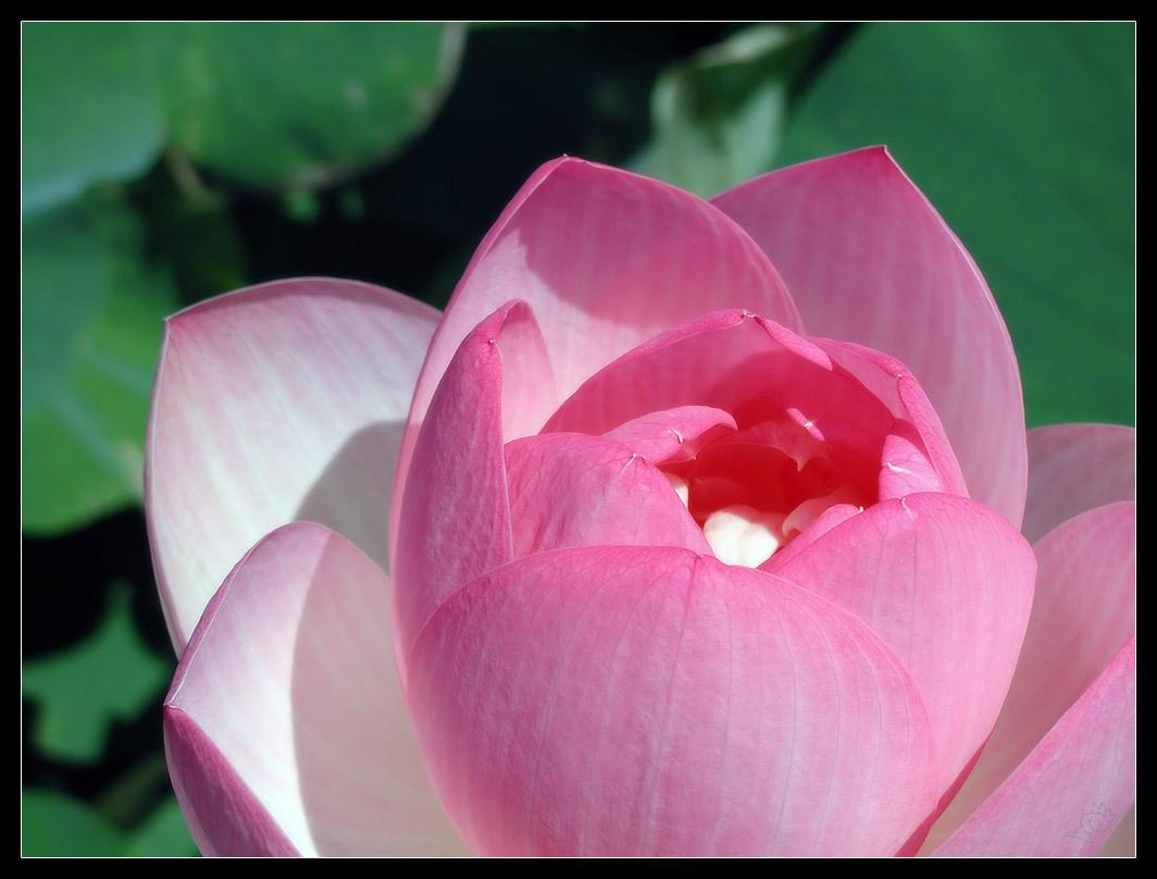 Lotus by bitair