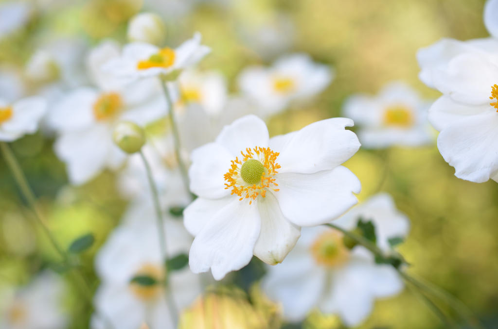 White Spring Flowers by 86NSL