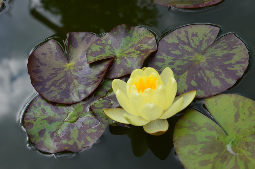 yellow water lily flower - photo #20