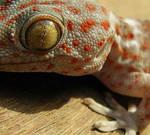 Lizard _ gecko