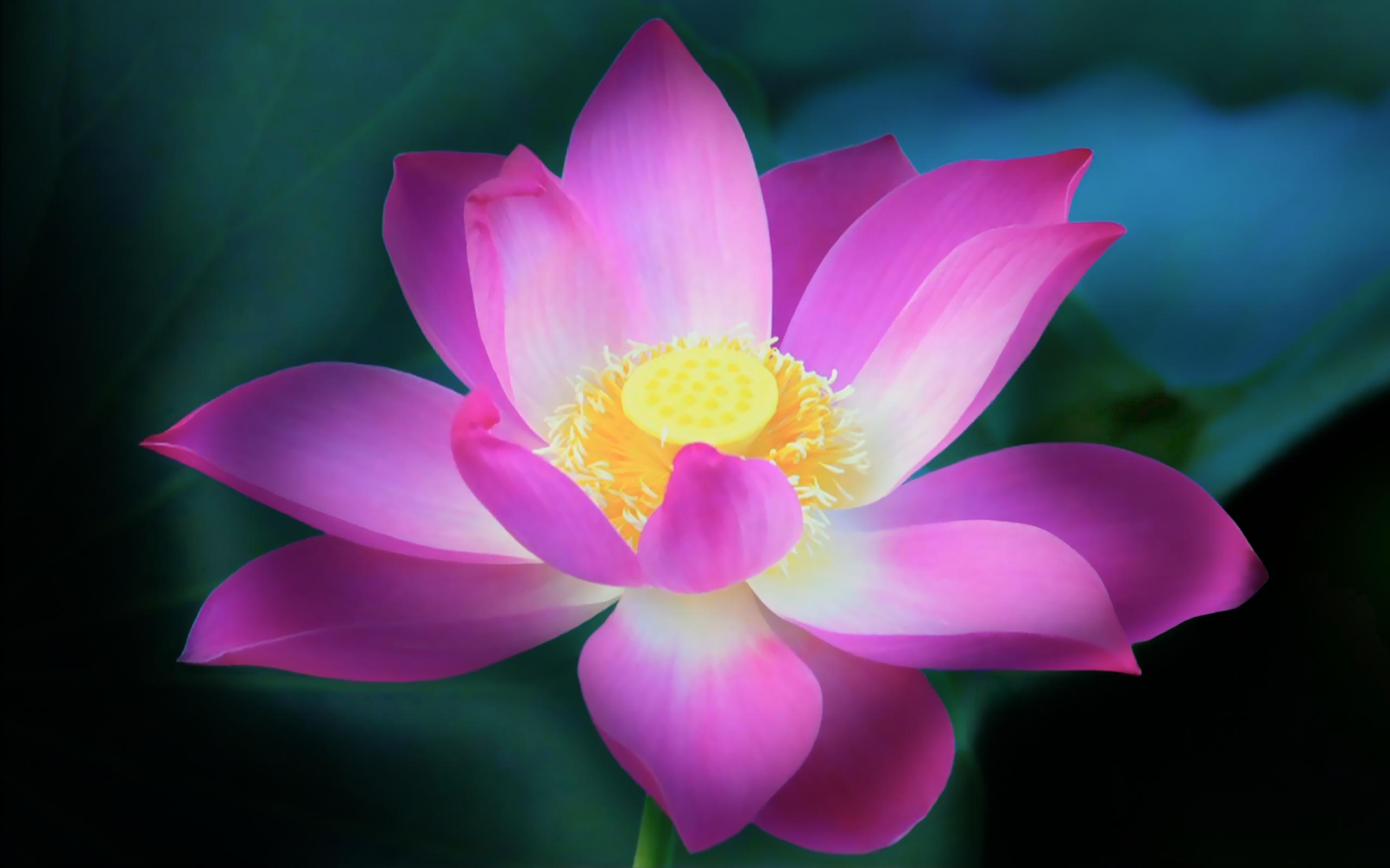 Lotus Flower Hdr Mac Os Lion By Fatamorgana2012 On Deviantart