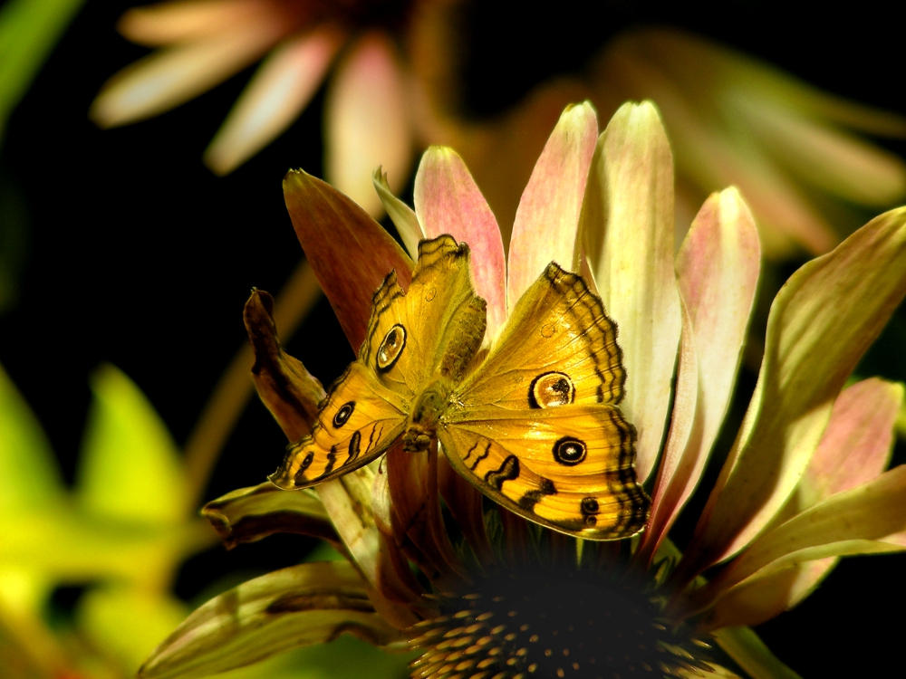 Photo - Yellow Butterfly