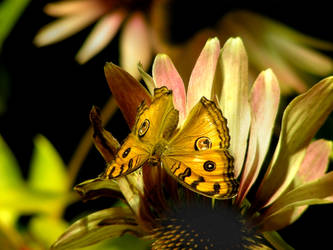 Photo - Yellow Butterfly by AtomicBrownie