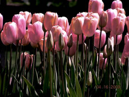 Photo - Pink Tulips by AtomicBrownie
