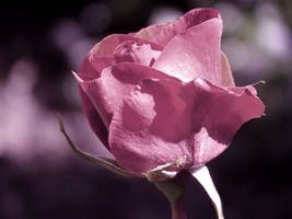 A Pink Rose by AtomicBrownie