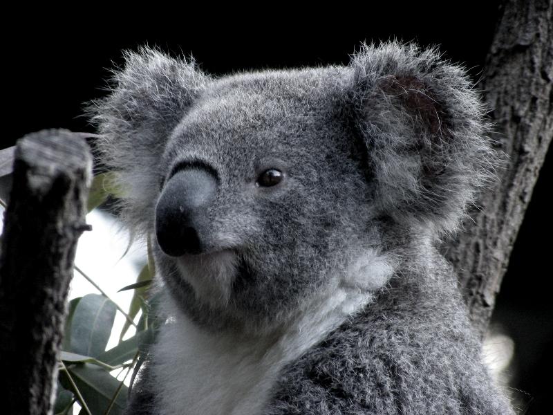 Koala Face by AtomicBrownie