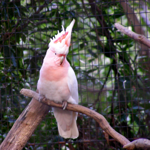 Pink Cockatoo by AtomicBrownie