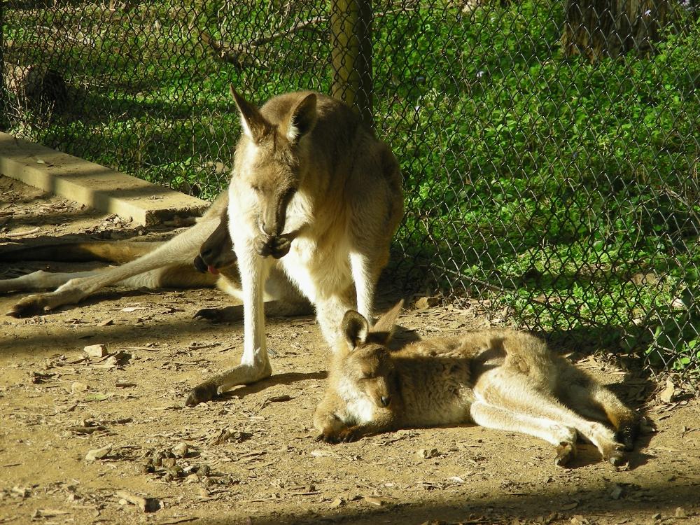 Kangaroos Relaxing by AtomicBrownie