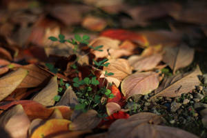 Fall Clovers