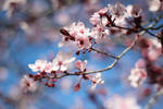 Sweet Blossoms