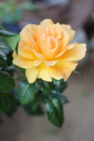 Orange Gold by AtomicBrownie